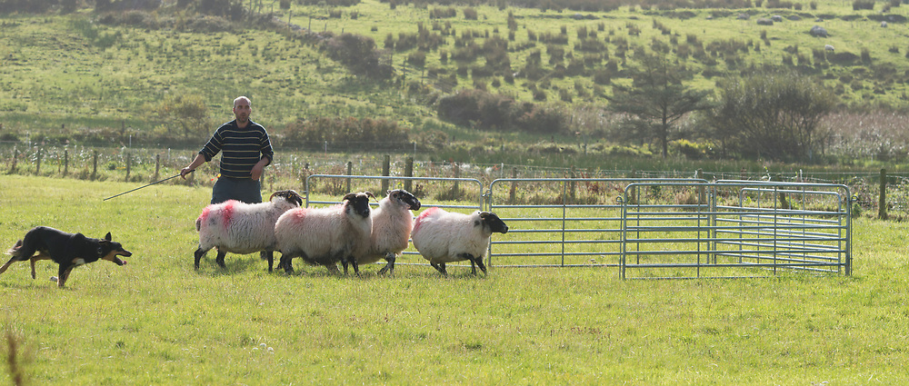 Clare Island Ram Fair &amp; Sheep Dog Trials.<br /> Michael Oliver Moran working his dog &quot;Diego&quot;. Pic: Michael Mc Laughlin