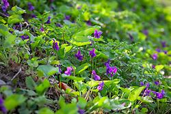 Sweet Violet growing on a grassy bank. Viola odorata