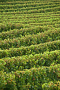 vineyard France the Languedoc in the month of August