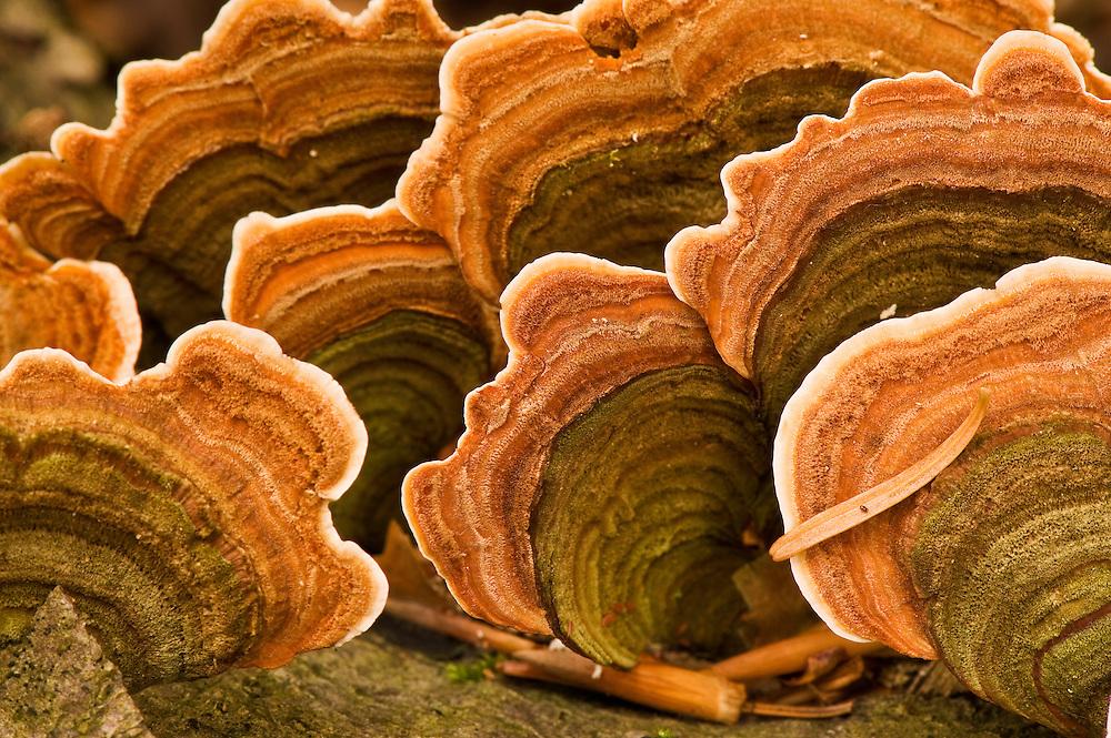 Polypore fungus Coriolus versicolor on a stump in Corkova Uvala virgin forest, Plitvice National Park, Croatia