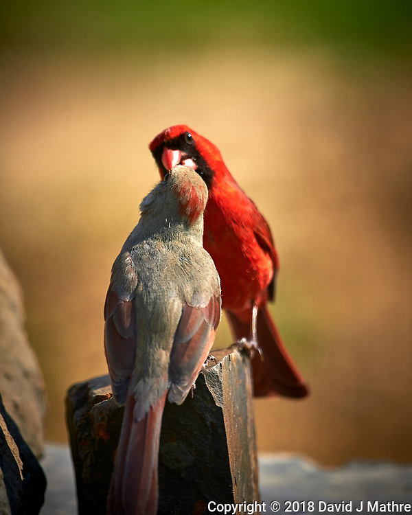 Male Northern Cardinal Feeding a Female. (Courtship Behavior???). Image taken with a Nikon D4 camera and 600 mm f/4 VR lens (ISO 100, 600 mm, f/4, 1/400 sec)