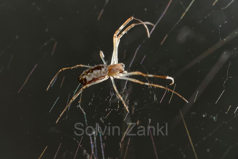 [captive] This Golden Silk Orbweaver (Nephila clavipes) is only a few months old.   Wenige Monate alte Goldene Radnetzspinne (Nephila clavipes).
