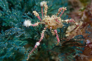 Pycnogonida (Sea spider)..Thursday 19 April 2012..Photograph Richard Robinson © 2012..Dive Number: 367.Dive Buddy: Kent Ericksen..Site: Night dive, The Gardens, Rock Poor Knights Marine Reserve..Temperature: 19.8 Degrees Celsius..Maximum Depth: 13 meters..Bottom Time: 65minutes..Bottom Time to Date: 26,553 minutes..Cumulative Time: 26,618 minutes.