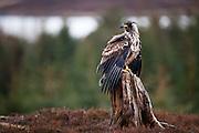 Havørn poserer på stubbe | White-tailed Eagle posing on stump.