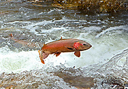 Lahontan Cutthroat Trout (jumping waterfall)<br />