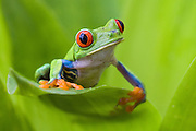 Red-eyed Treefrog<br /> Agalychnis calydryas<br /> Northern Costa Rica, Central America