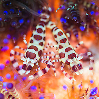 Coleman Shrimp, Periclimenes colemani, pair on fire urchin, Ambon Island, Maluku Islands, Indonesia.