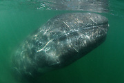 Grey whale (Eschrichtius robustus) photographed in San Ignacio Lagoon, Mexico, Pacific Ocean.