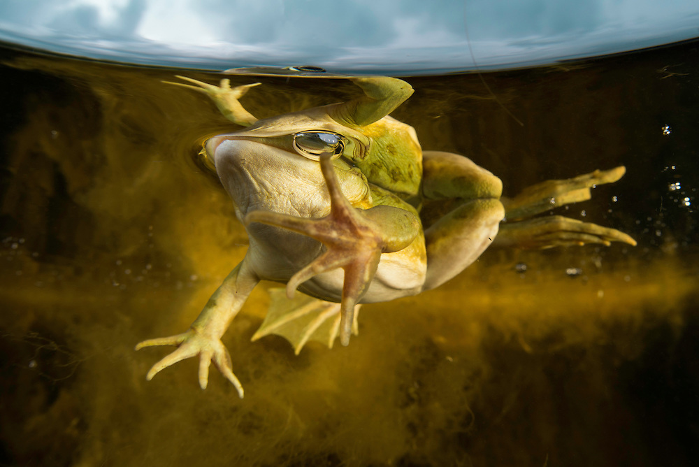 """Pool frog (Pelophylax lessonae) swimming along the reed edge, Crisan, Danube Delta, Romania. Over under shot. A pool frog is very similar in appearance to the closely related edible frog and marsh frog. These three species are often referred to as """"green frogs""""."""