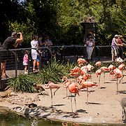July 13-16, 2016, San Diego, CA:<br /> Flamingoes at the San Diego Zoo during a trip to San Diego, California Wednesday, July 13 to Saturday, July 16, 2016. <br /> (Photos by Billie Weiss)