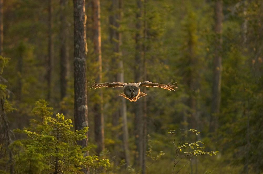 Great Grey Owl, Strix nebulosa, Kuhmo, Finland