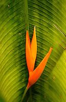 Heliconia Plant, Puerto Rico