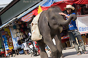 A young man is walking on a street guiding a working elephant in Mae Sai, Thailand.