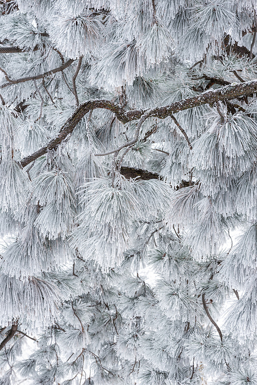Ponderosa Pine with frost covered needles, Wallowa Valley, Oregon.