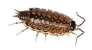 WOODLOUSE<br /> PHILOSCIA MUSCORUM