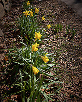 Early Spring Daffodils. Image taken with a Leica CL camera and 18-56 mm lens