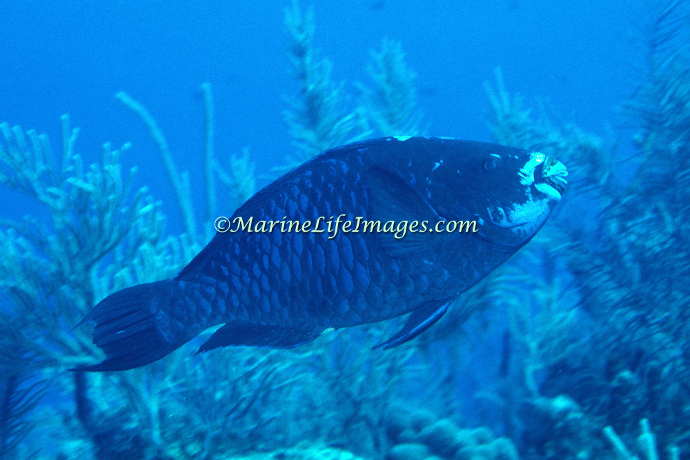 Midnight  Parrotfish swim about reefs and adjacent areas scrapping filamenmtous algae from hard substrates in Tropical West Atlantic; picture taken Key Largo, FL.