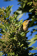 A female southern masked weaver lacks the black face of the male, Windhoek, Namibia.