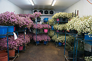 Flower export. fresh flowers in a hothouse ready for picking and packing. Photographed in israel
