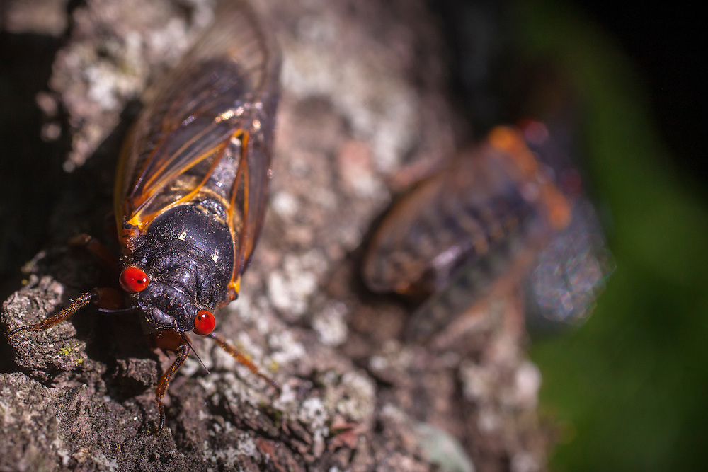 Magicicada is the genus of the 13-year and 17-year periodical cicadas of eastern North America. Although they are sometimes called &quot;locusts&quot;, this is a misnomer as cicadas belong to the taxonomic order Homoptera, while locusts belong to Orthoptera.[2]<br />