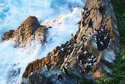 Common Guillemot (Uria aalge) in bird cliff, Hornøya, Varanger, Norway