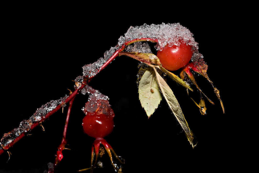 Closeup of Rose Hip fruit with snow in Chugach State Park, Eagle River in Southcentral Alaska. Fall. Morning