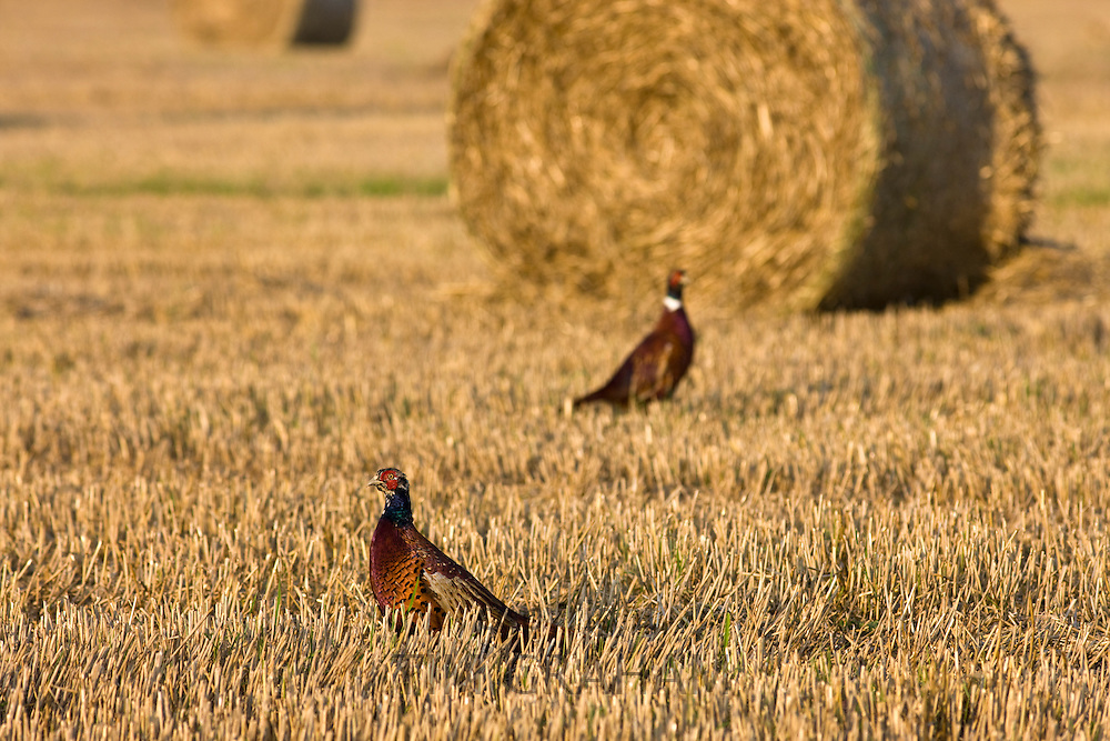 Male cock pheasants among stubble in a field in the Cotswolds, Gloucestershire