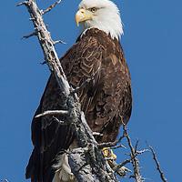 A Bald Eagle (Haliaeetus leucocephalus)  near Rodger's Fishing Lodge at Port Eliza Inlet, BC.