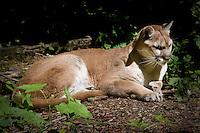 A cougar lies in the sun.