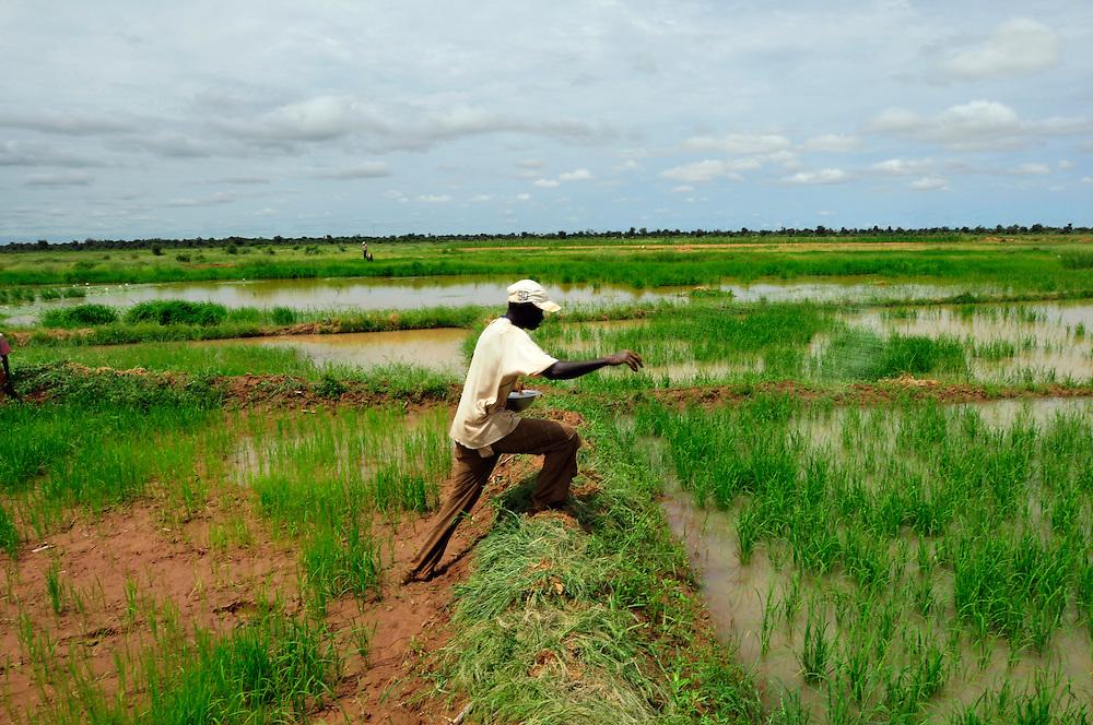 Le fis d'un ancien migrant en France, Moussa Dianor, travail dans sa rizière. Un projet d'irrigation permet la culture du riz dans cette région du Sahel..Orkadiéré, Sénégal. 05/09/2010..Photo © J.B. Russell