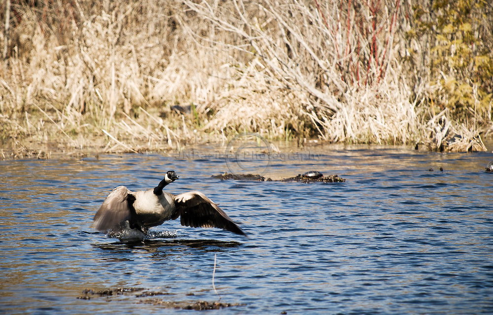 A Canadian Goose takes flight from a small pond in Ontario, Canada