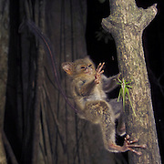 Spectral or Sulawesi Tarsier, (Tarsius spectrum), in the rainforest, Tangkoko Nature Reserve, Sulawesi, Indonesia (Celebes-Koboldmaki)