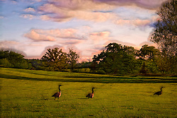 Geese in a sunny field off of Hopewell Rd. in New Melle Missouri. Puffy clouds, vibrant greed field with a shaggy painterly feel.