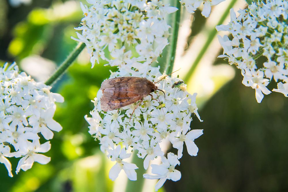 The bronzed cutworm moth is an attractive medium-sized moth is common in the Pacific Northwest where it favors cool, wet forests. This one was found at the top of Washington's Hurricane Ridge in the Olympic Mountains on a bright, sunny June afternoon.