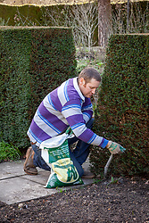 Feeding a yew hedge with granular fertiliser. Taxus baccata