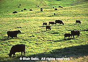 York Co., PA Countryside, Black Angus Cattle in Farm Meadow
