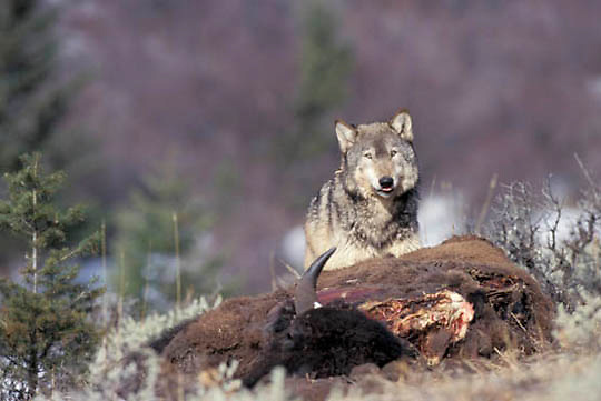 Gray Wolf, (Canis lupus) Feeding on bison carcass. Rocky mountains. Montana.  Captive Animal.