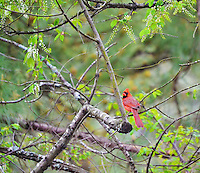 A Red Cardinal perched on a branch