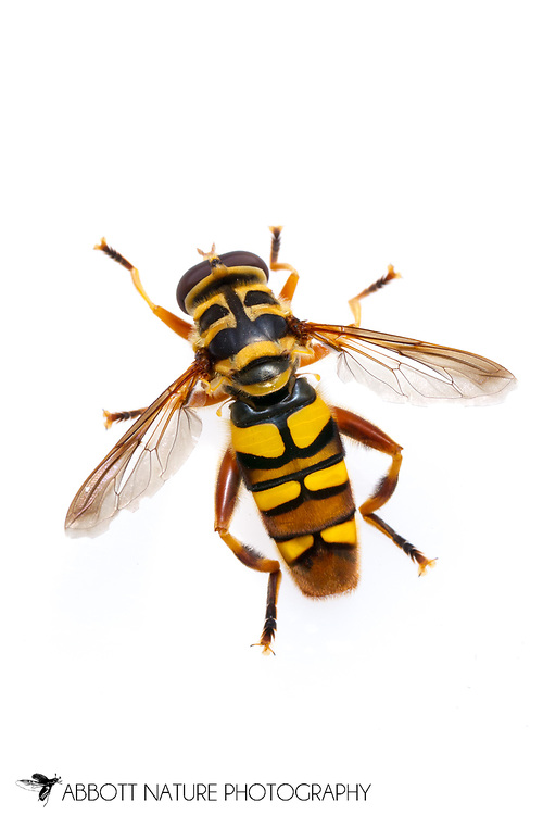 Yellowjacket Hover Fly (Milesia virginiensis)<br /> TEXAS: Jasper Co.<br /> Brookeland/Lake Sam Rayburn @ 505 Co Rd 212<br /> 21.July.2015<br /> J.C. Abbott #2768 &amp; K.K. Abbott