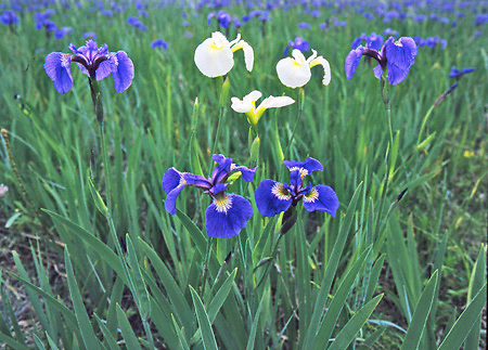 Eklutna Flats Iris in bloom, common blue and uncommon white.