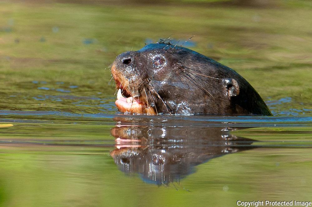 Giant River Otter near the Cuiba river, Pantanal, Brazil
