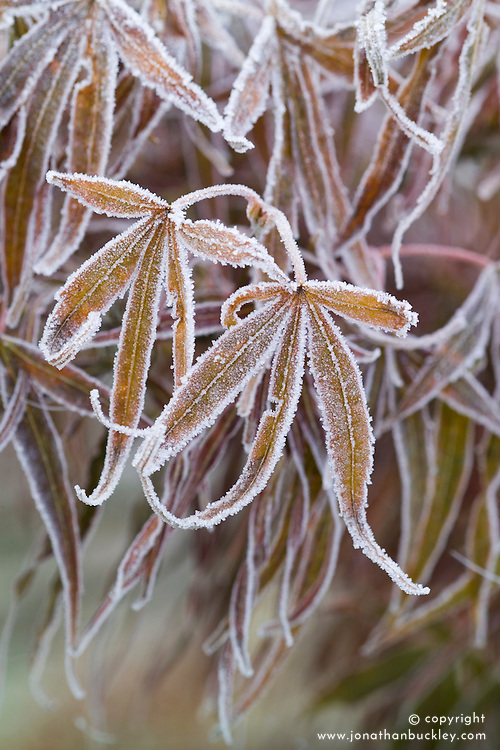 Hoar frost on the leaves of Acer palmatum 'Red Pygmy'