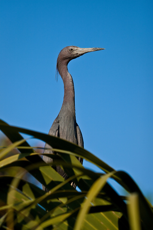 Portrait of a wild adult little blue heron (Egretta caerulea) breeding at the St. Augustine Alligator Farm Rookery, Anastasia Island, St. Augustine, Florida.