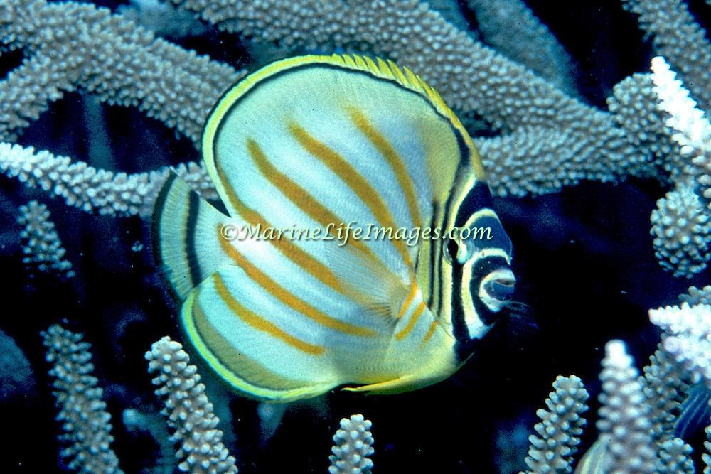 Ornate Butterflyfish inhabit reefs. Picture taken Vanuatu.