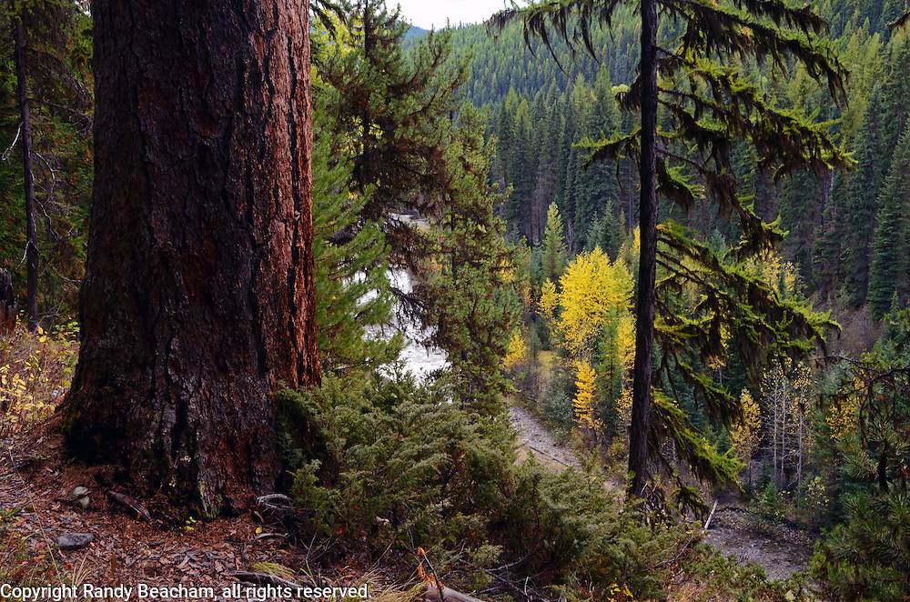 Western Larch above the West Fork Yaak River in fall. Yaak Valley, Montana
