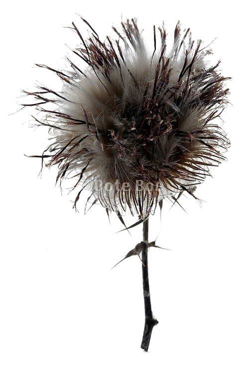 close up of  wild thistle seed head