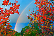 Rainbow framed by maples<br />
