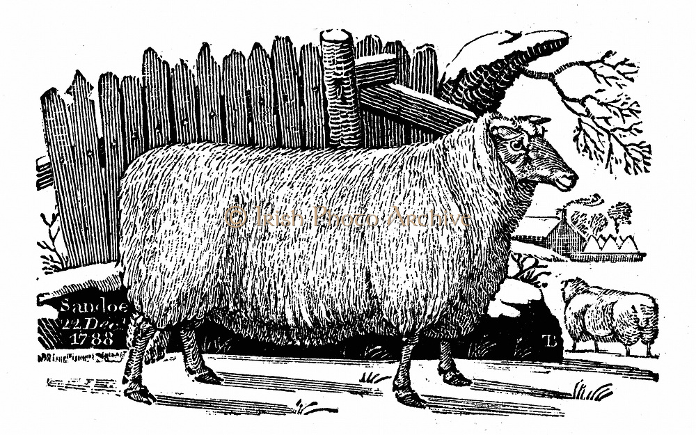 Dishley (New Leicester) sheep. Breed result of selective breeding programme by Robert Bakewell (1725-95) on his farm at Dishley, Leicestershire, England. From Thomas Bewick 'A General History of Quadrupeds' Newcastle-upon-Tyne 1811. Woodcut