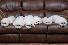 Group - Bichon Frise