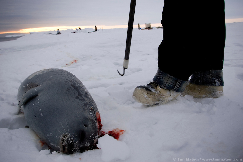 May 3, 2008 -- Kivalina, AK, U.S.A..Richard Sage and a seal he shot from whaling camp on the pack ice, some two miles from shore and 12 miles from the native village of Kivalina, Alaska. Kivalina is suing 20 oil companies for property damage related to global warming; the ocean pack ice forms later and melts earlier, leaving the town vulnerable to erosive winter storms and endangering their traditional subsistence lifestyle. (Photo by Tim Matsui)